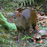 Agouti outside the main cabin