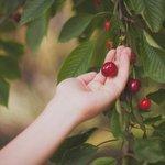 Colhendo cerejas! ;)