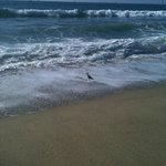 Sand Piper- local resident