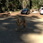 On our way to Glacier Point, Coyote