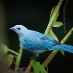 Blue Tanager near beach