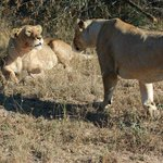 Lionesses interact
