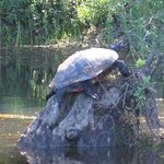 Turtle sunning on a stump in the lake