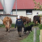 Cows return to the barn for milking