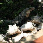 Iguanas enjoy the shade of the gardens