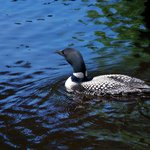 Loons are a common sight and sound