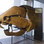 crâne d'un poisson géant