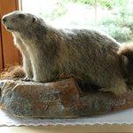 A stuffed Marmot