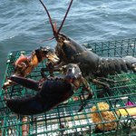 Lobsters Caught by Owner