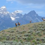 Shot I took of elk below the Tetons