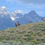 Shot I took of elk below the Tetons