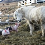 Piglets and horse