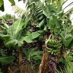Bananeto all'interno del giardino