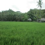 Paddy field on way to BayunMulek