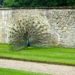 Proud peacock at Château de Saint-Germain-de-Livet