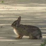 Friendly Bunny on sidewalk