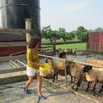 Feeding the sheep.