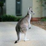 Kangaroo on path to apartment.