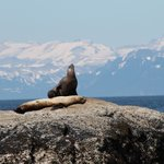 Sea Lion with Katmai in the backgound
