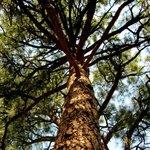Looking up at a huge Ponderosa Pine Tree.