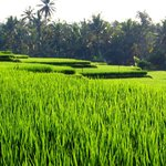 View of rice paddies down river