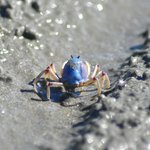 Awesome soldier crab on For Mile Beach