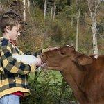 Feeding the calf