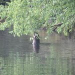 Beaver @ the docks - Ash River Visitor Center - Voyageurs National Park