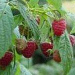 Fruitlands UPick raspberries