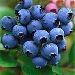 Fruitlands UPick blueberries