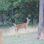 Deer grazing in yard
