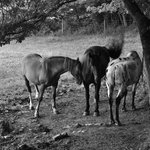 alcuni dei cavalli del cornacchino