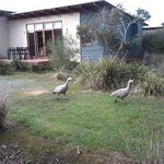 Cape Barren Geese near our cabin