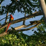 Scarlet Macaw, green parrot, and an iguana on the property