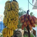 Pick a fresh banana or two!