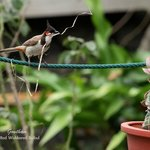 BulBul spotted in d gardens