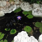 Blue water Lilly in the front entrance