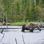 Moose having dinner