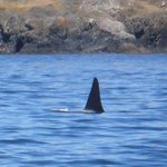 Orca off the waters of San Juan Island
