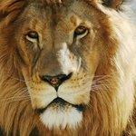 Levi, African Lion