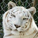 Kahlua, Bengal Tiger