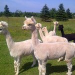 The girls (female alpacas)