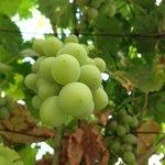 Jifna in fruit