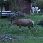 Deer in the evening