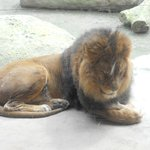 Gnarly Lion