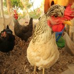 las gallinas/our chickens