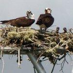 osprey family of 4