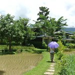 Rice field in middle of resort