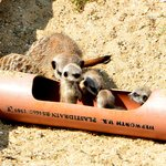 The baby Meerkats venture out of the safety of their 'pipe'