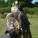 This Comet the Peregrine Falcon, at rest after his flying display.